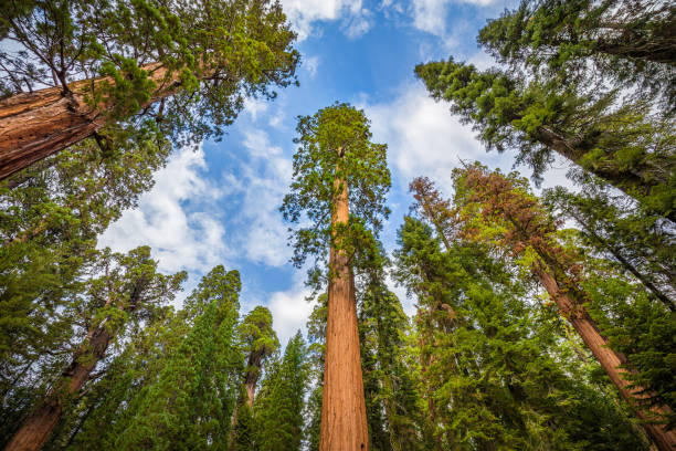 Wide angle view of famous giant sequoia trees in Sequoia National Park, California, USA Classic wide-angle view of famous giant sequoia trees, also known as giant redwoods or Sierra redwoods, on a beautiful sunny day with blue sky and clouds in summer, Sequoia National Park, California, USA redwood tree stock pictures, royalty-free photos & images
