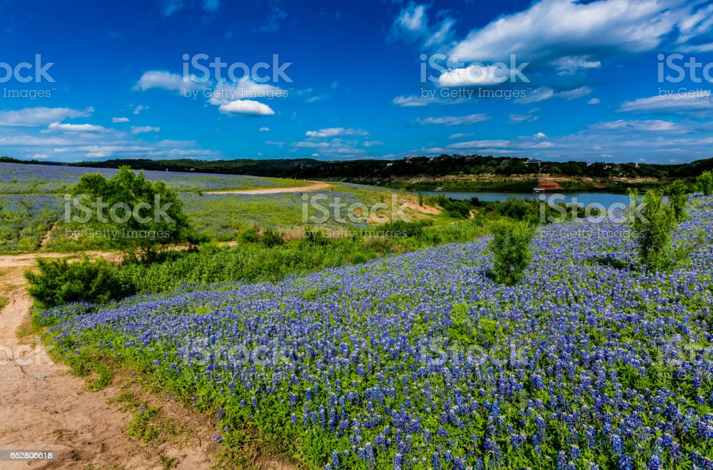 Wide Angle View of Famous Texas Bluebonnet (Lupinus texensis) Wildflowers stock photo