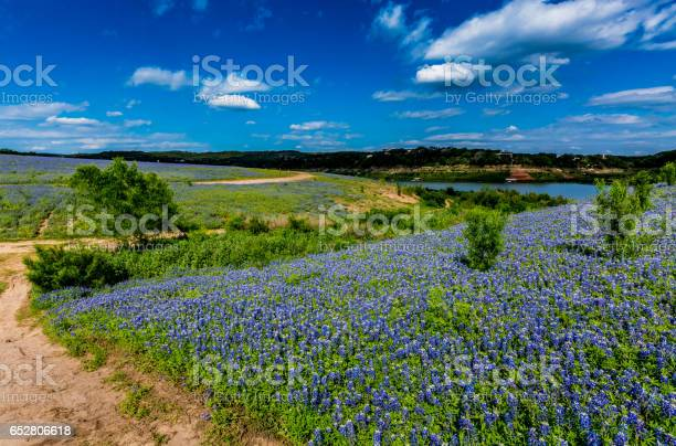 Photo of Wide Angle View of Famous Texas Bluebonnet (Lupinus texensis) Wildflowers