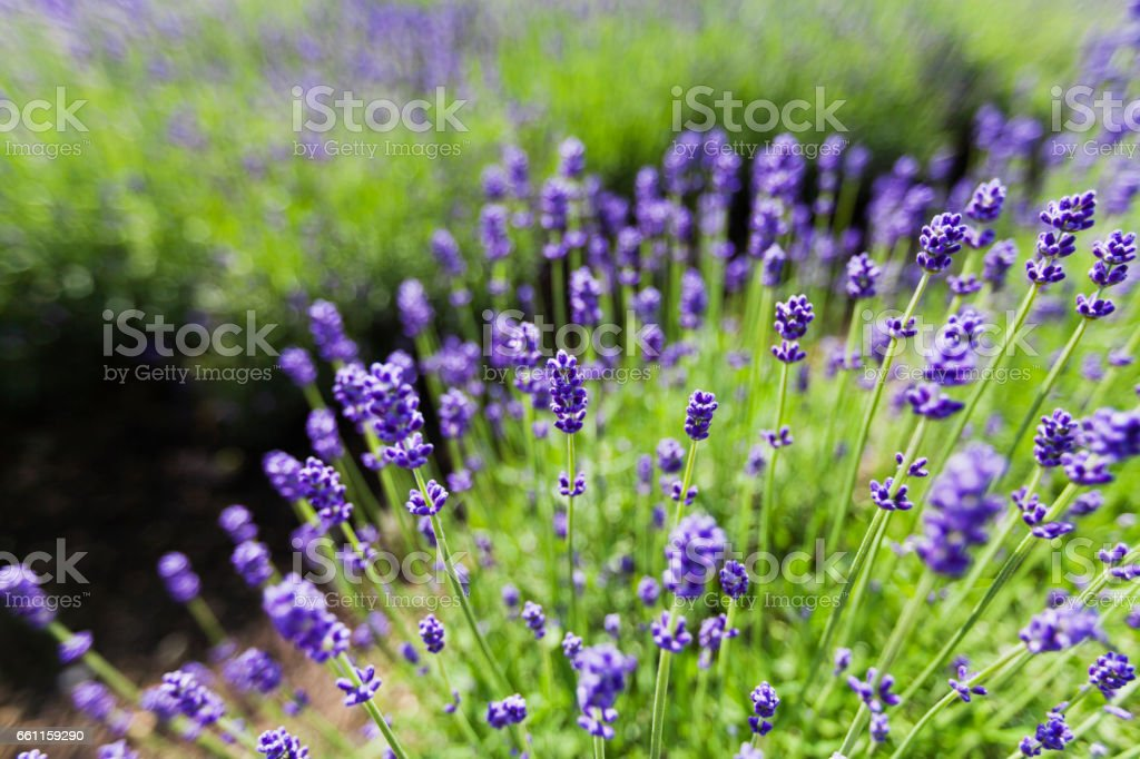 Wide Angle View of Lavender Flowers stock photo