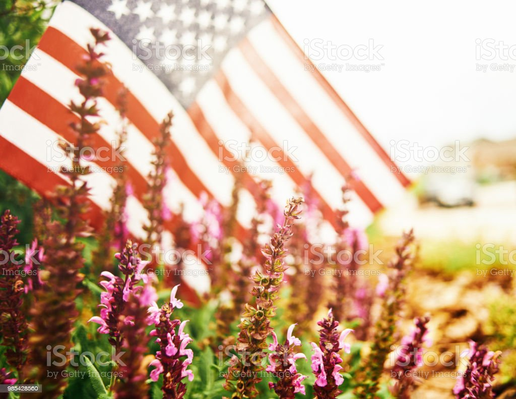 Wide angle view of salvia plants growing in flowerbed with American flag stock photo