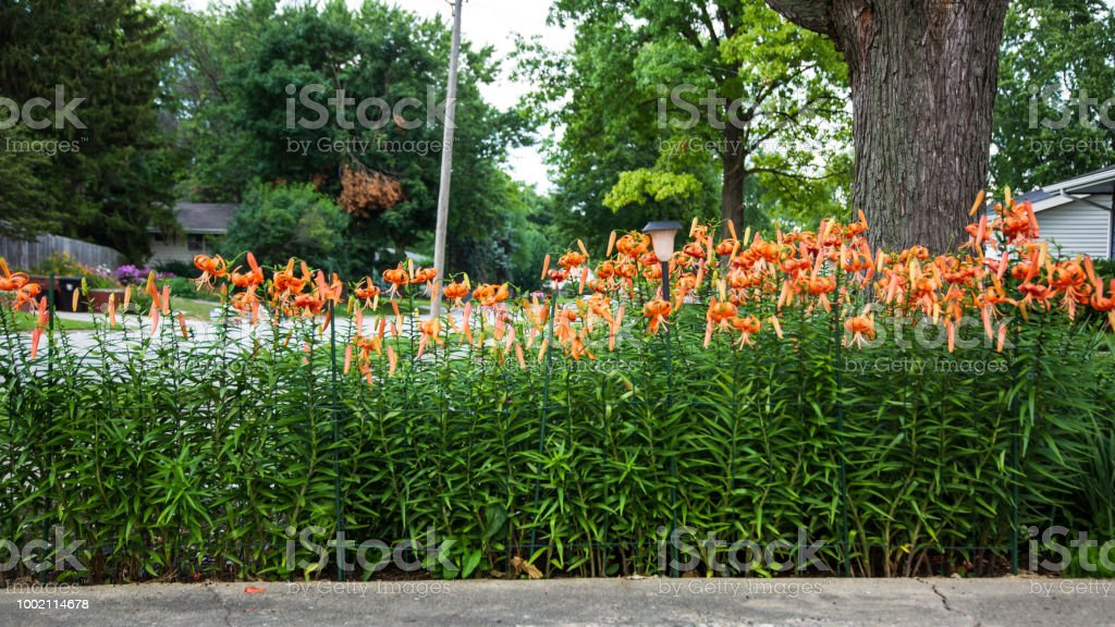 Wide Angle View Of The Tiger Lily Garden Stock Photo Download