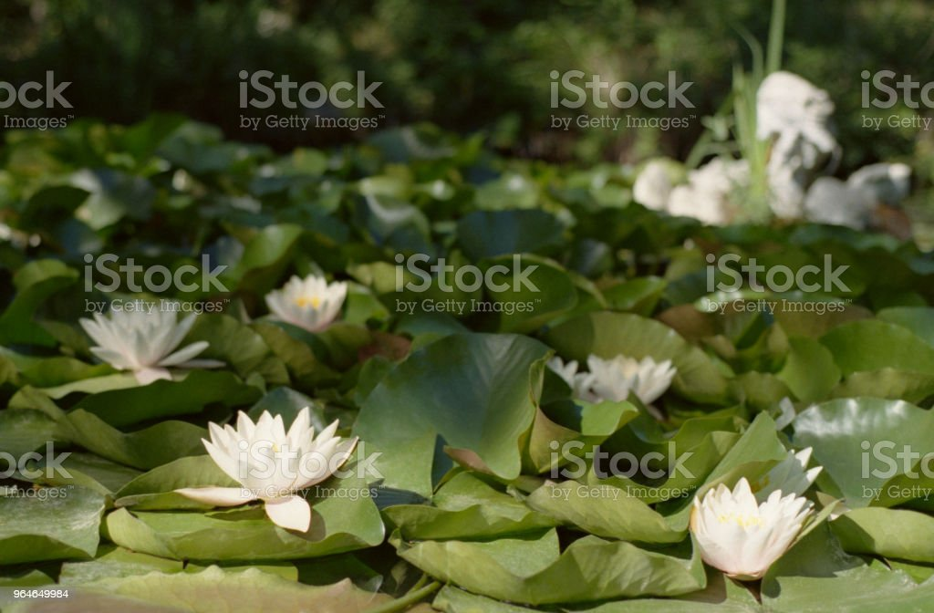Wide angle view on a pond full of white water liies. Shot on film royalty-free stock photo