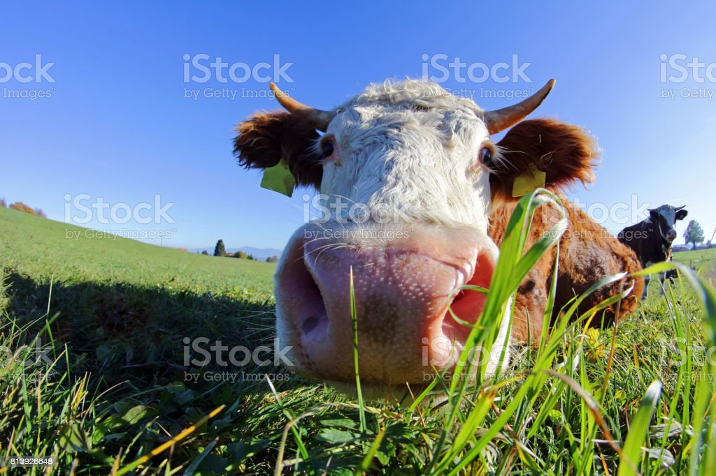 Wide corner admission of a Simmentaler cattle with horns stock photo