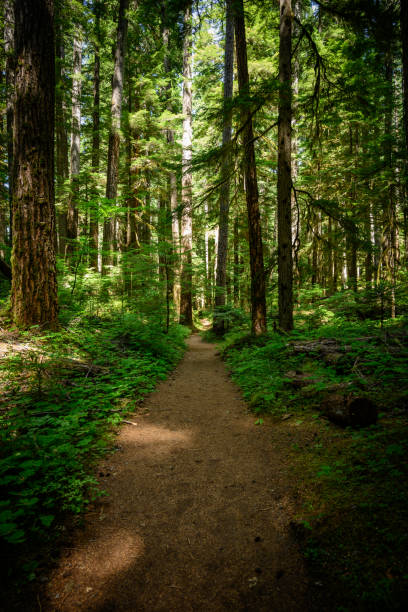 Wide Dirt Trail Through Pine Forest stock photo