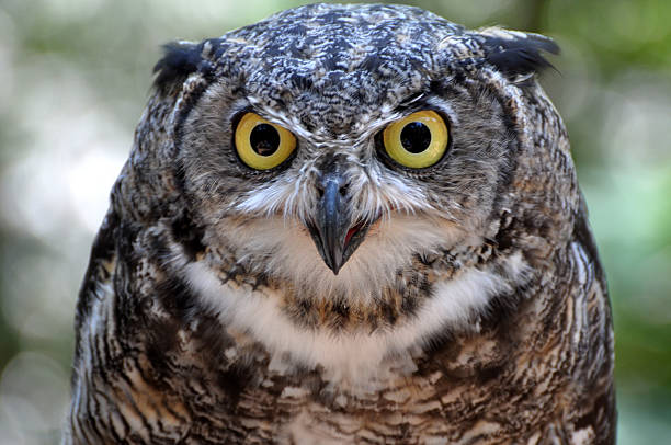 Wide Eyed And Spooky Brown Owl