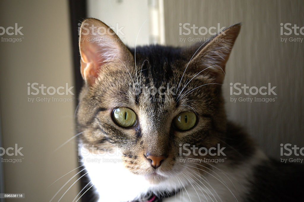 Wide Eyed Cat royalty-free stock photo