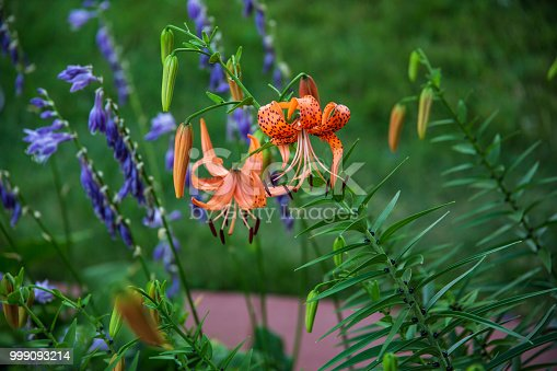 a wide image of tiger lilies next to the Hosta section of the garden