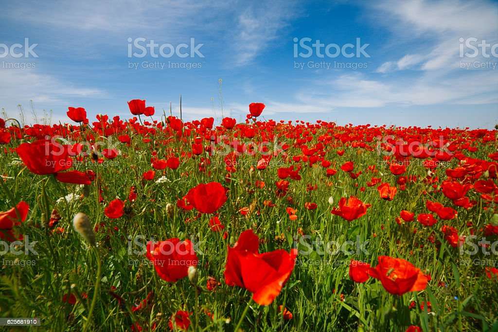 Wide meadow with rep poppies and deep blus sky stock photo
