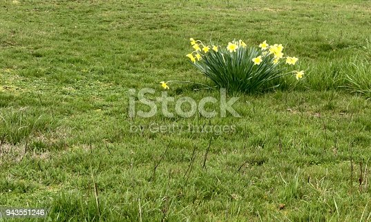 A wide open field with a single clump of bright yellow daffodils in the middle seemingly out of place