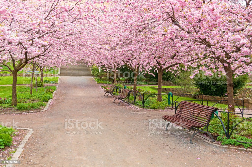 A wide park alley with blooming cherry trees stock photo