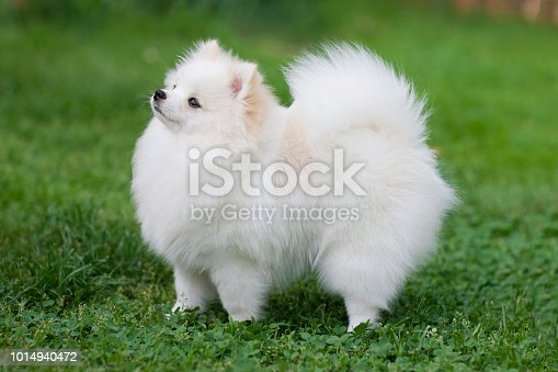 Wide picture of a white pomeranian spitz at the blooming meadow. High resolution photo.