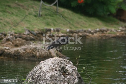 Wide shot of a black egret standing on a rock in the middle of a pond