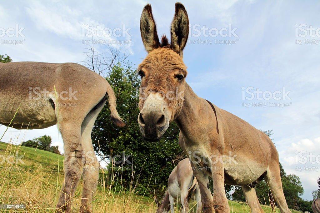 Wide shot of a donkey stock photo