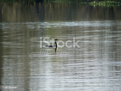 Wide shot of an egret swimming in the swamps