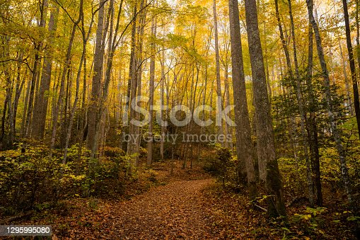 istock Wide Trail Cuts Through Tall Forest In Fall 1295995080