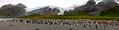 Wide view of large king penguin colony on the beach of St. Andrew's Bay