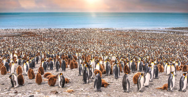 Wide view of large king penguin colony on the beach of St. Andrew's Bay, with sunlight and bokeh giving golden glow to scene. stock photo