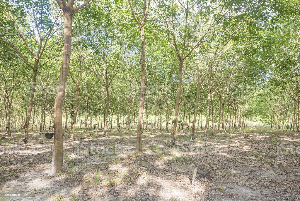 Wide view of rubber farm stock photo