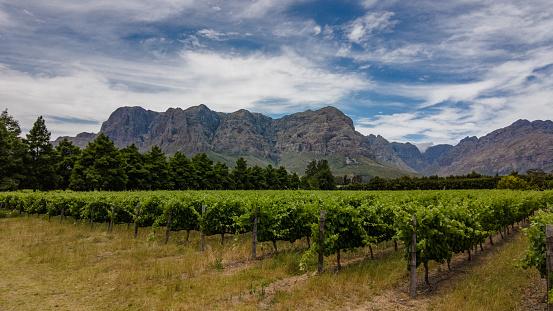 Vineyard between mountains Stellenbosch Cape Wine lands South Africa