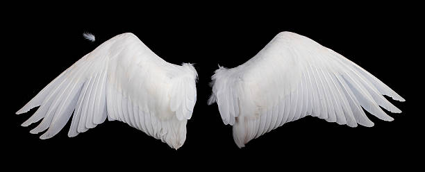 Wide white feathered wings against a black background stock photo