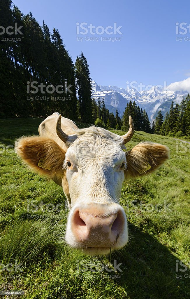 Wideangle of dairy cow in a meadow surrounded by mountains-XXXL royalty-free stock photo