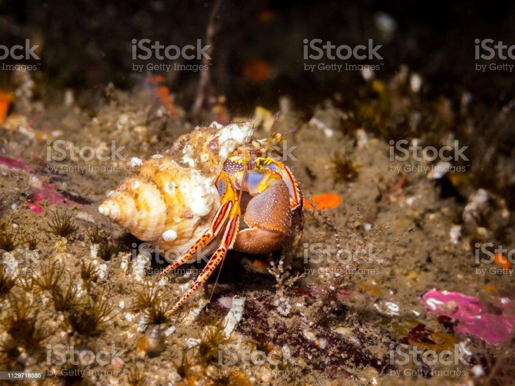 Widehand Hermit Crab (Elassochirus tenuimanus) stock photo