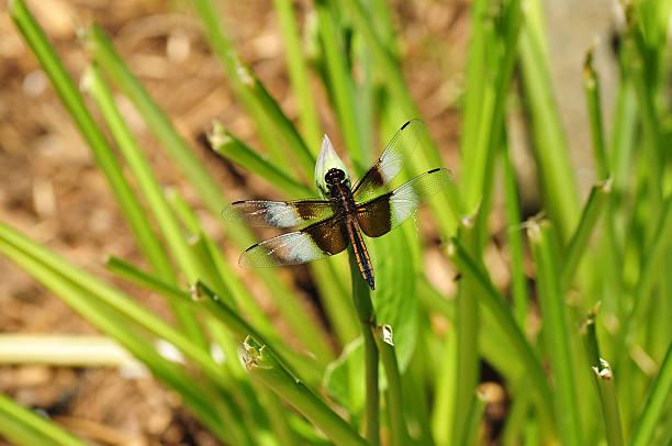 Widow Skimmer dragonfly stock photo
