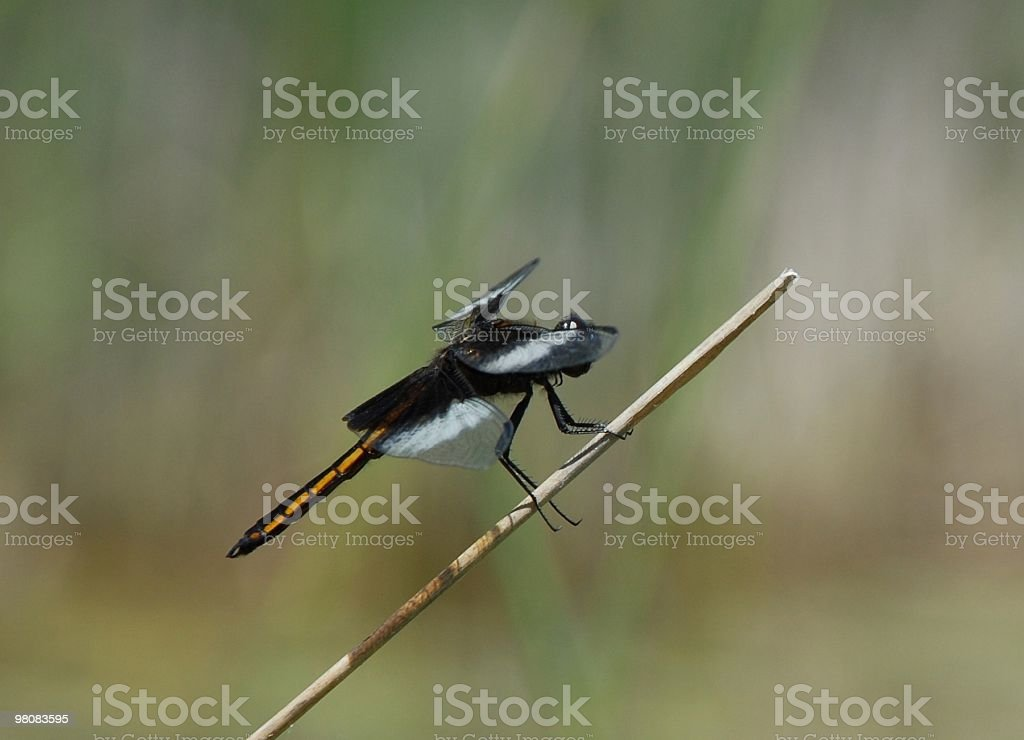 Widow Skimmer; Libellula luctuosa royalty-free stock photo