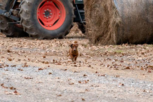 Wiener / dachshund dog running toward the camera stock photo