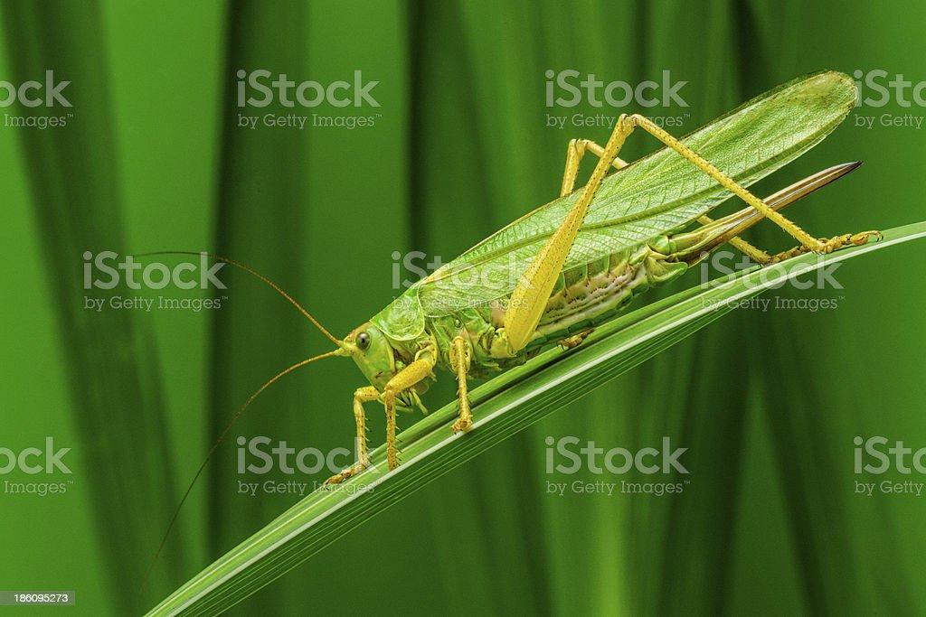 świerszcz Orthoptera Foto De Stock Y Más Banco De Imágenes