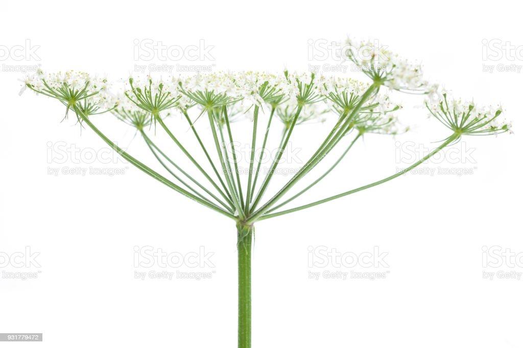 Wies Berenklauw (Heracleum sphondylium) - kant van de bloem foto