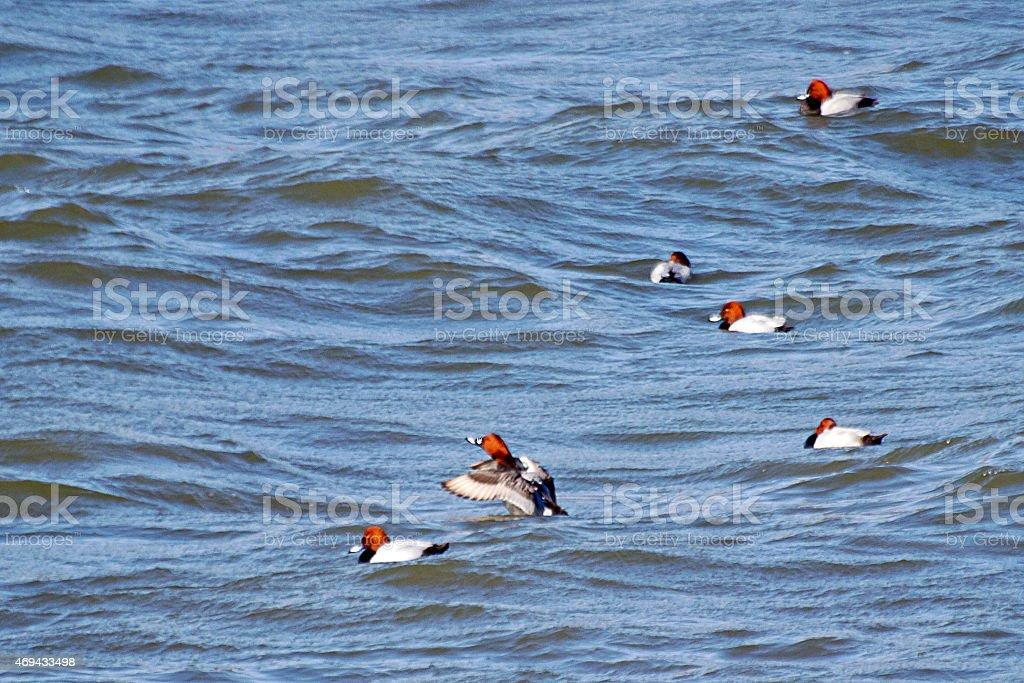 Wigeons on the Han River, South Korea stock photo