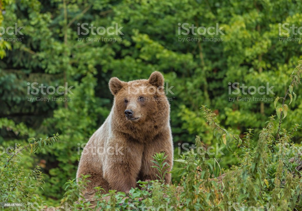 Wild adult Brown Bear ( Ursus Arctos ) in the summer forest. Green natural background stock photo
