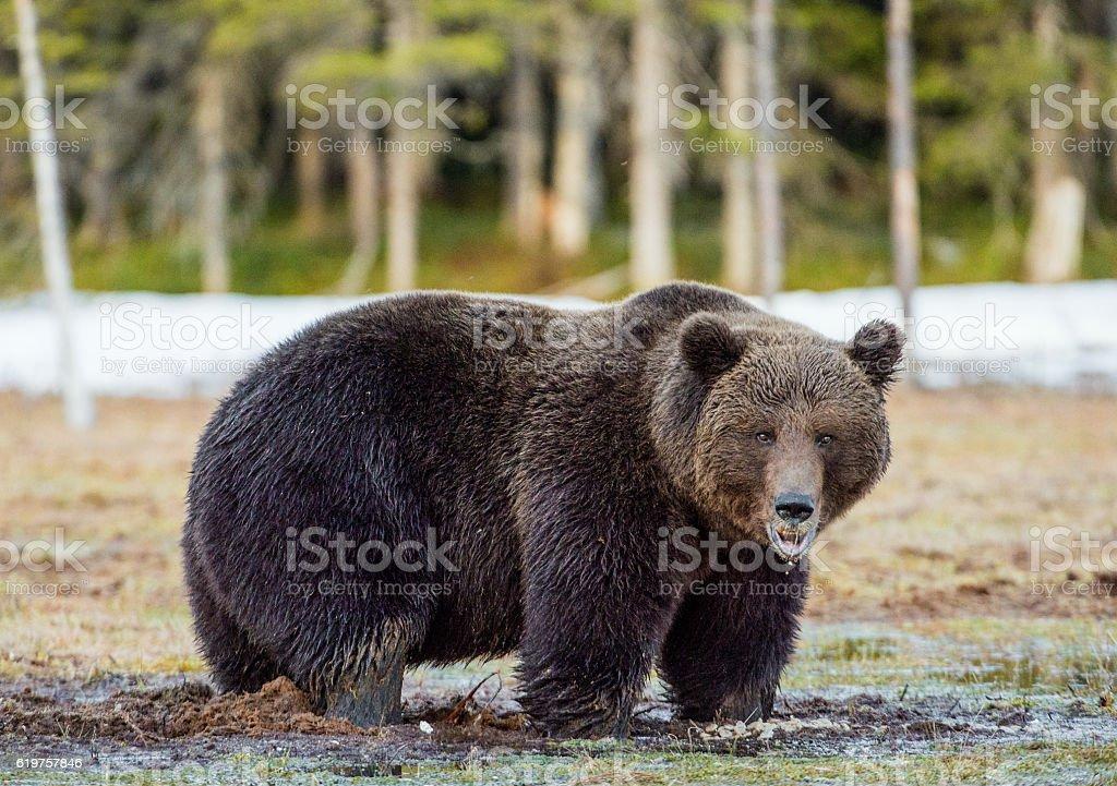 Wild Adult Brown Bear stock photo