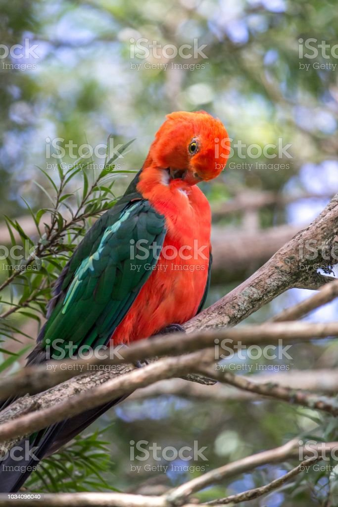 Wild Adult Male King Parrot, Queen Mary Falls, Queensland, Australia, March 2018 stock photo