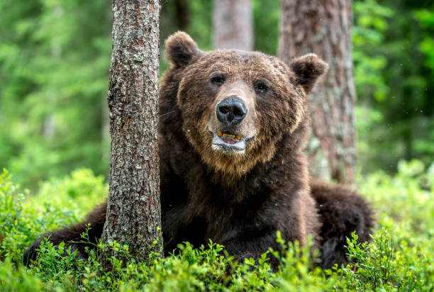 Wild Adult Male of Brown bear in the pine forest. Close up portrait. Scientific name: Ursus arctos. Natural habitat. stock photo