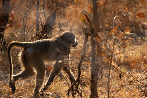 Wild African Baboon Walking Stock Photo Download Image Now Istock