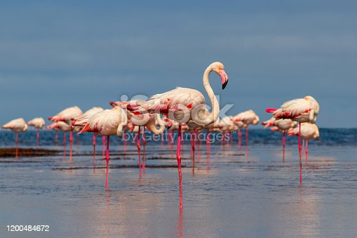 Wild african birds. Group birds of pink african flamingos  walking around the blue lagoon on a sunny day