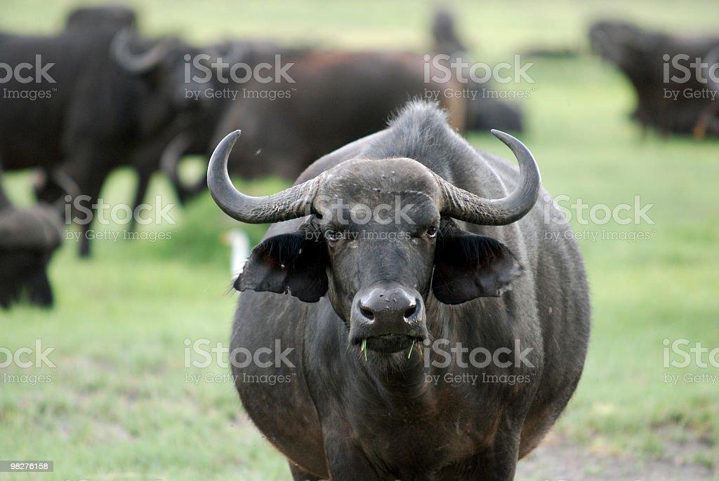 Wild african buffalo stock photo