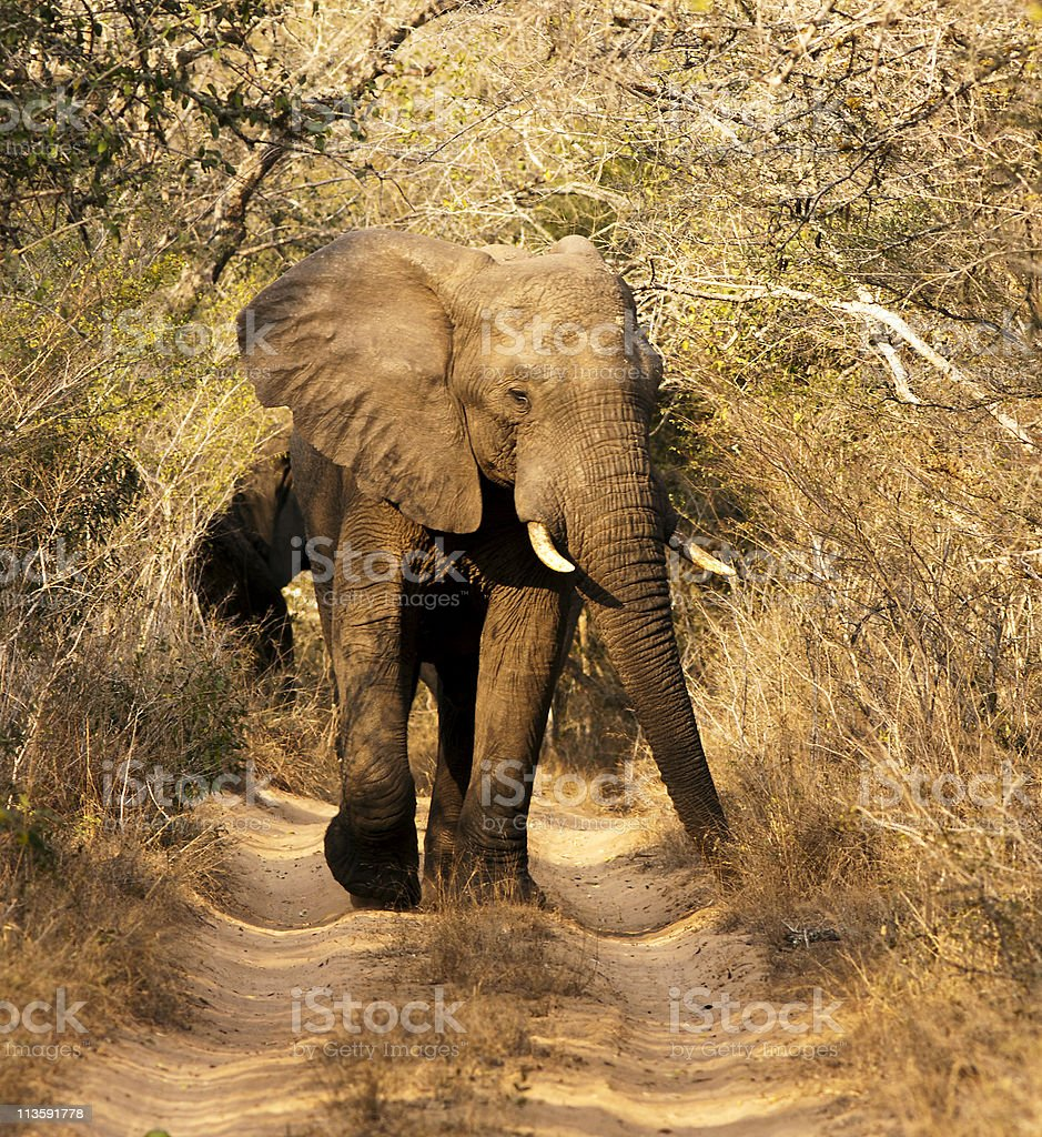 Wild African Bull Elephant royalty-free stock photo