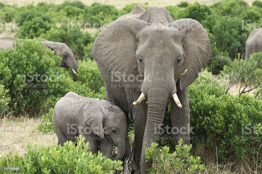 Wild African Elephant Mother and Baby Feasting on Small Trees royalty-free stock photo