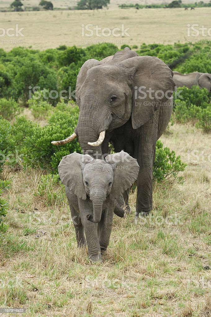 Wild African Elephant Mother and Baby Feasting on Small Trees stock photo