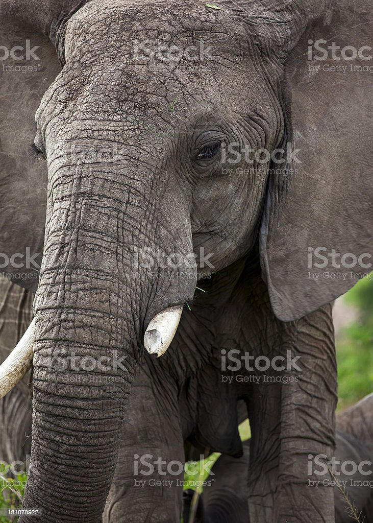 Wild African Elephant - warrior / broken tooth royalty-free stock photo