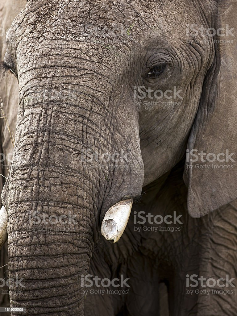 Wild African Elephant - warrior / broken tooth royalty-free stock photo