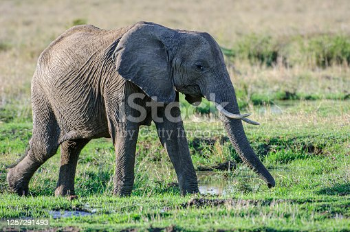 African elephants (Loxodonta africana) walking through watery vegetation on the Masai Mara.