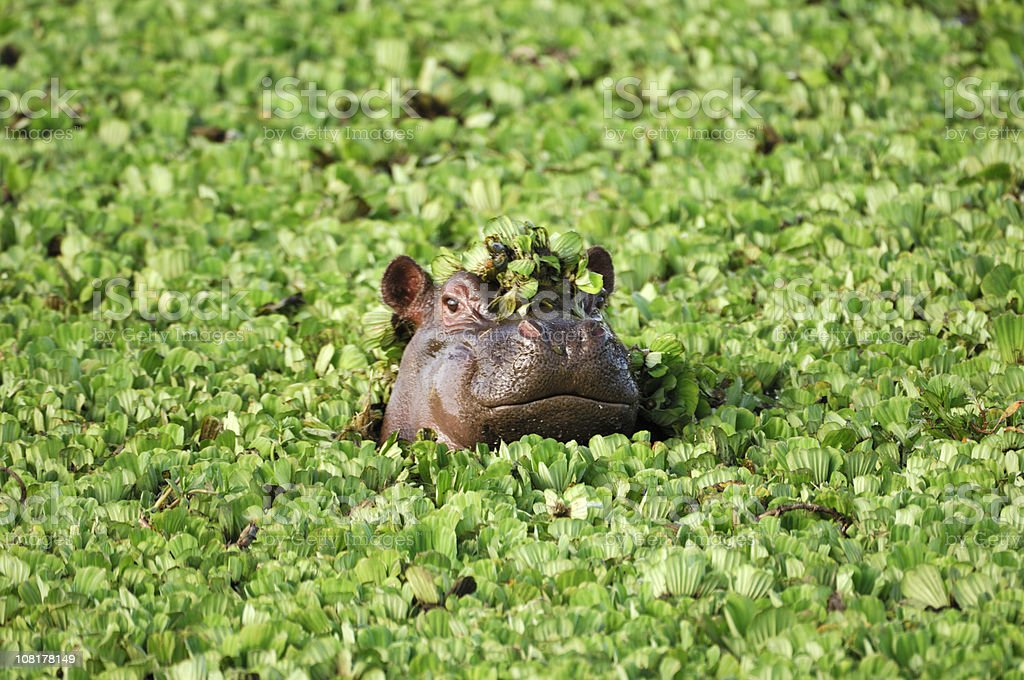 Wild African Hippo with Head Above Floating Water Lettuce stock photo