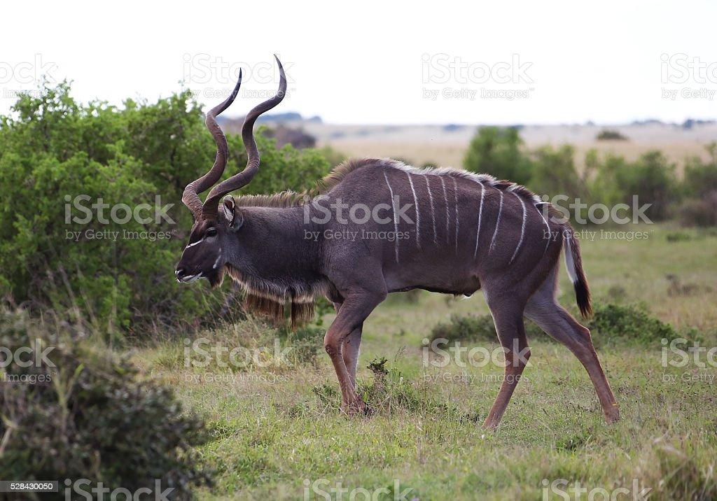 Wild African Kudu Buck stock photo
