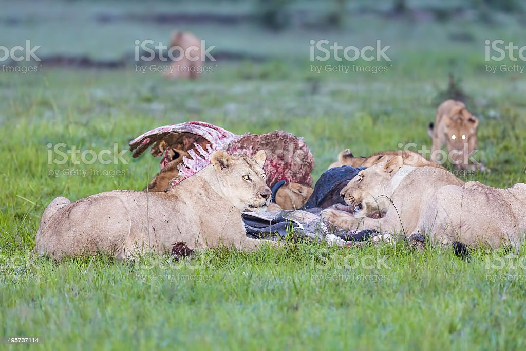 Wild African Lion eating a freshly killed Buffalo stock photo