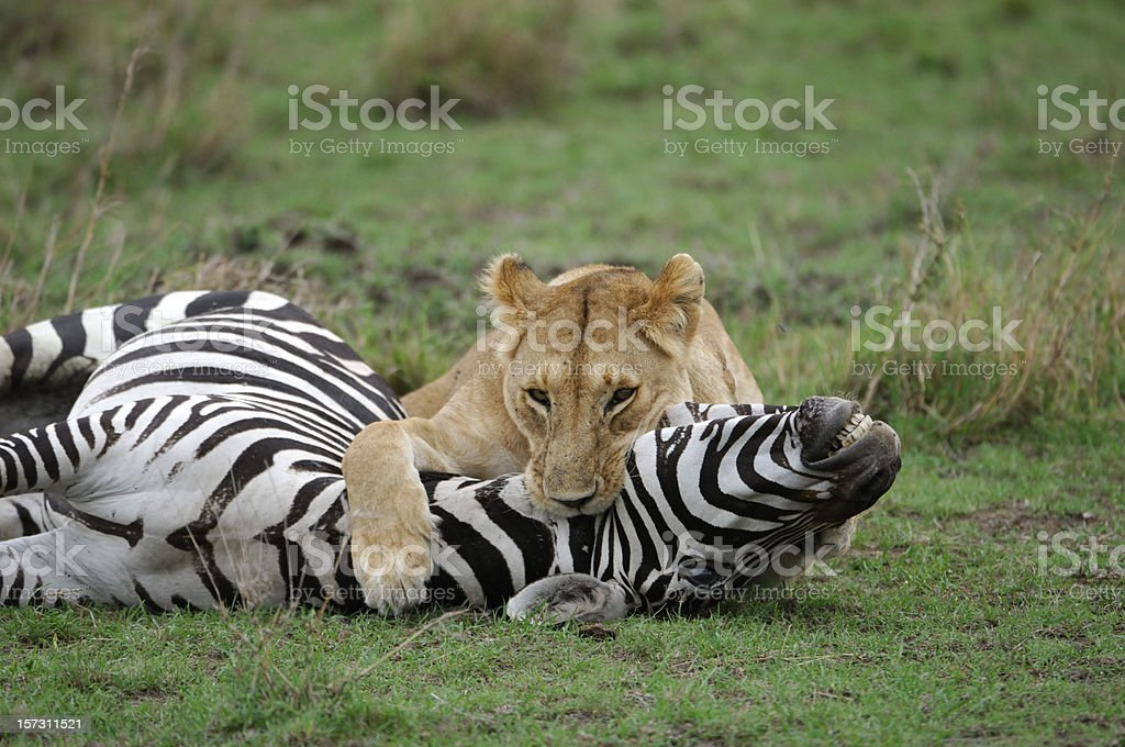 Wild African Lioness Holding Down a Just Captured Wild Zebra royalty-free stock photo